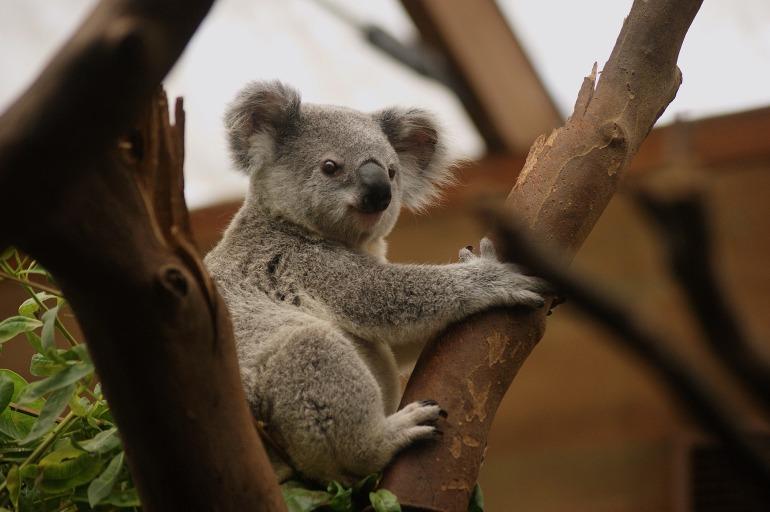 koala-2914975_1920.jpg